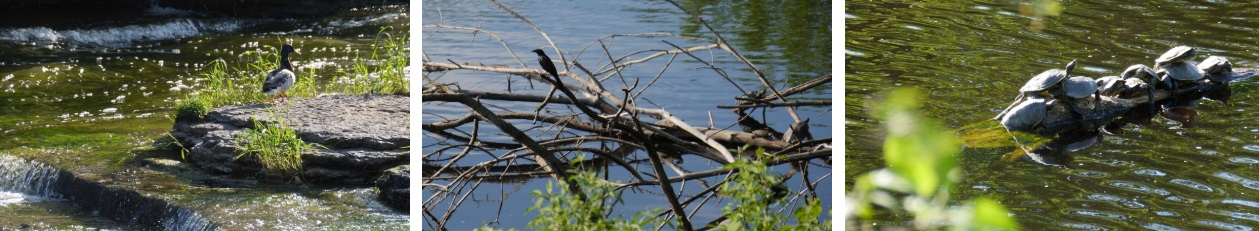 Ducks, Blackbirds and Turtles by the shore