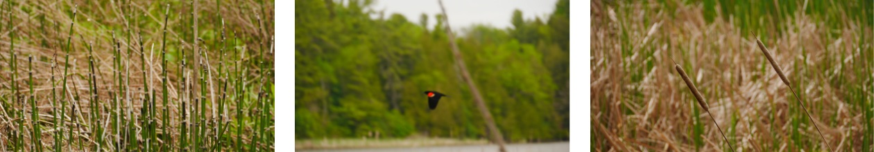 Red-winged Blac Bird and natural views of Parrott's Bay