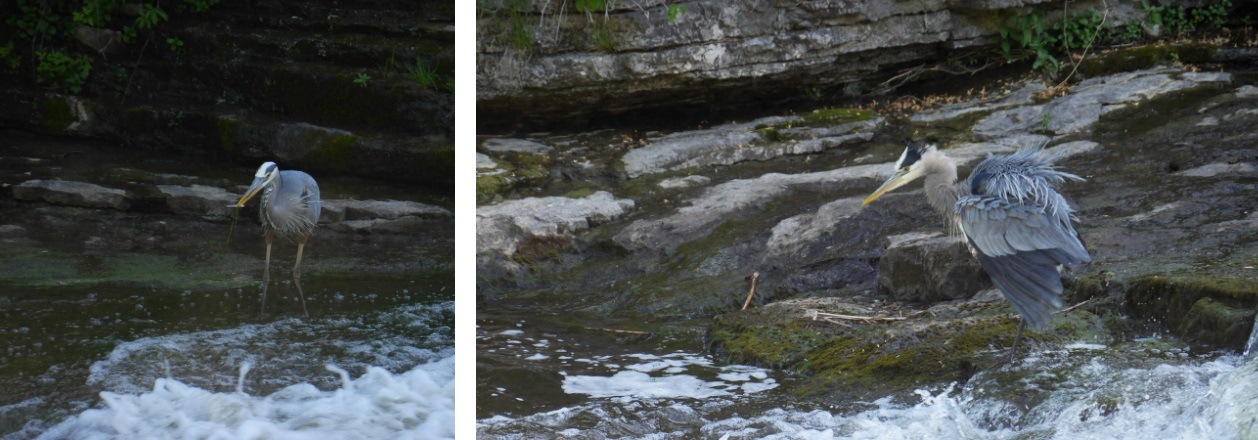 A blue heron fishing at the base of the falls