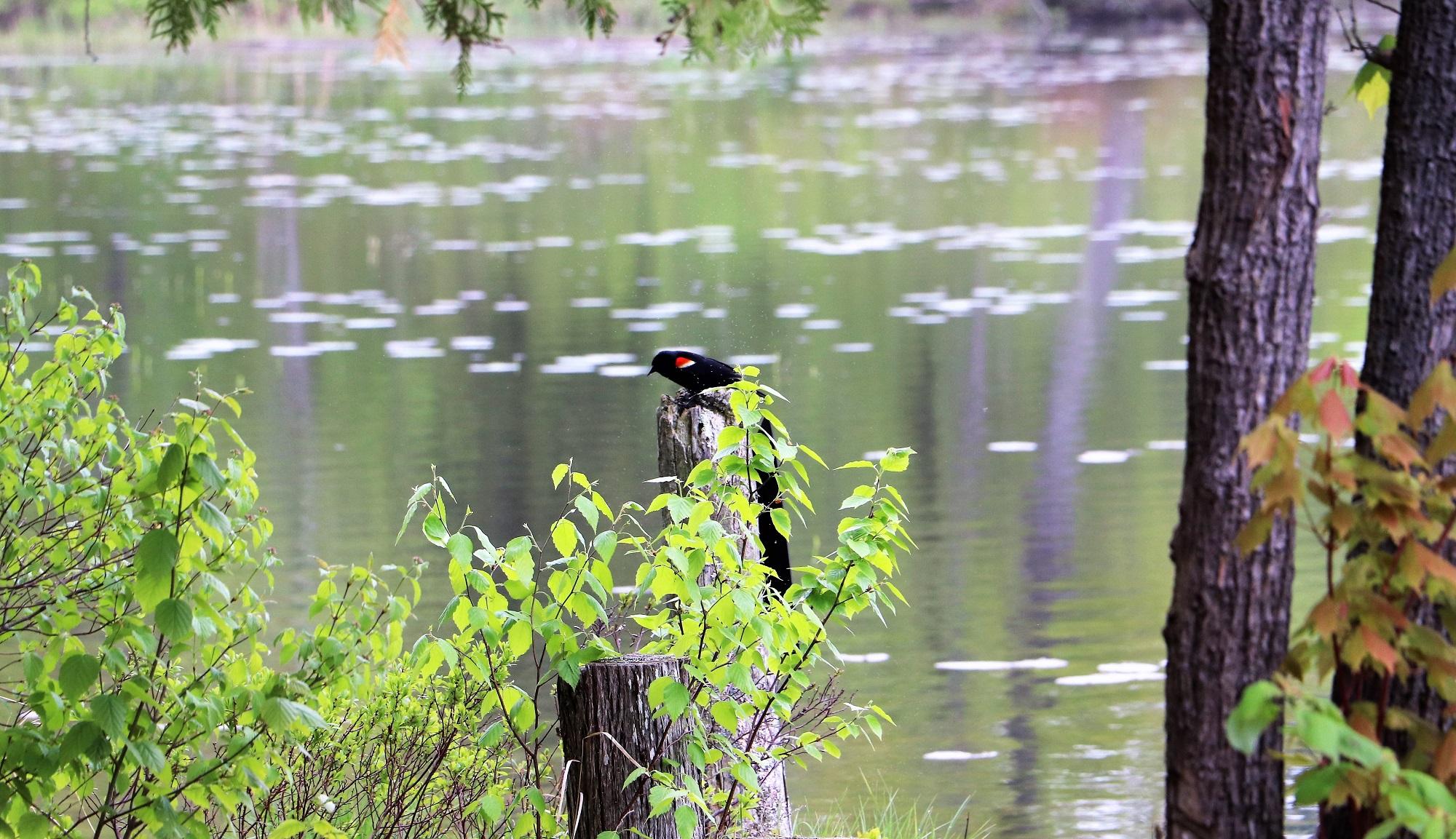 17. Red Winged Black Bird - Web.jpg