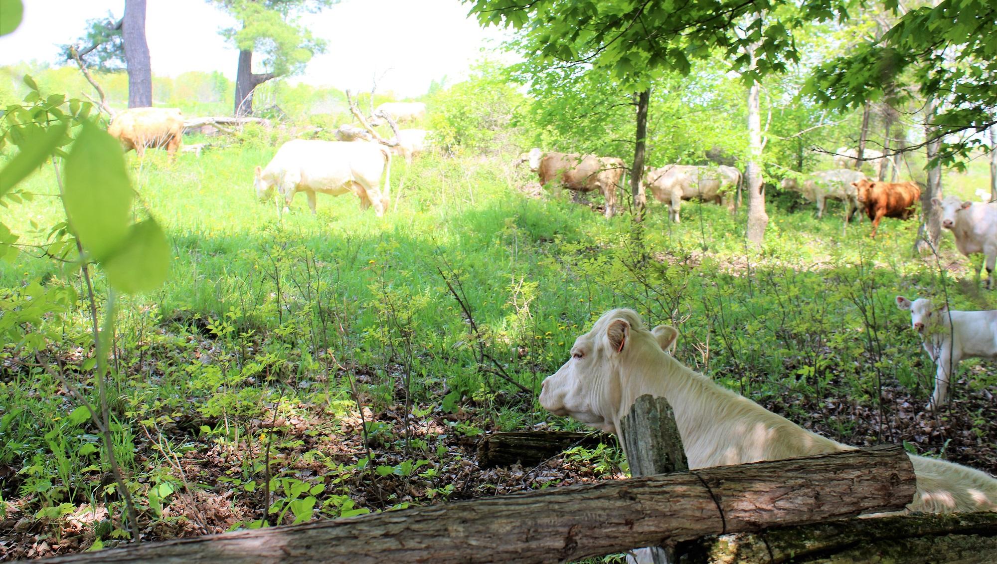 1a. Cows - web.jpg