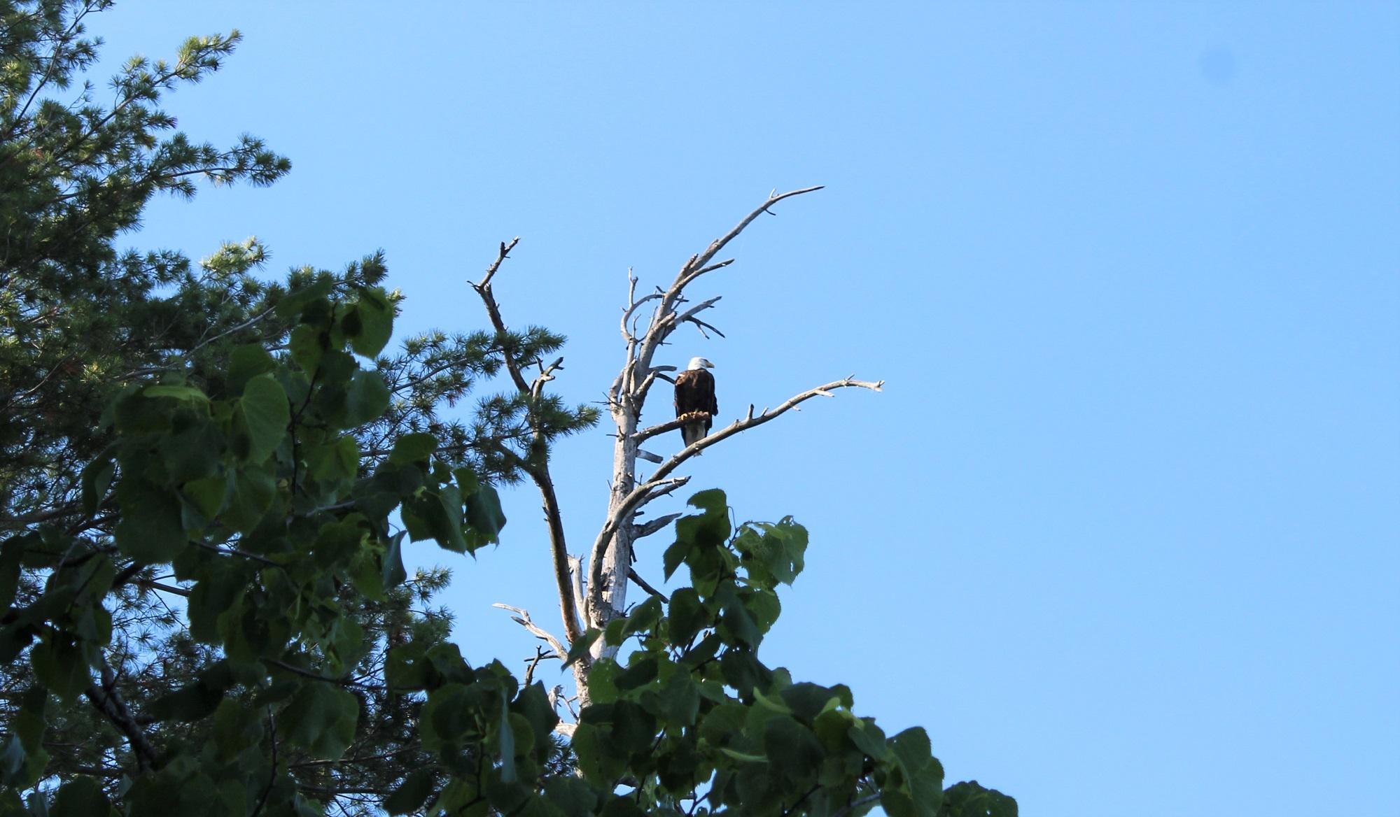 Bald Eagle 2 web.jpg