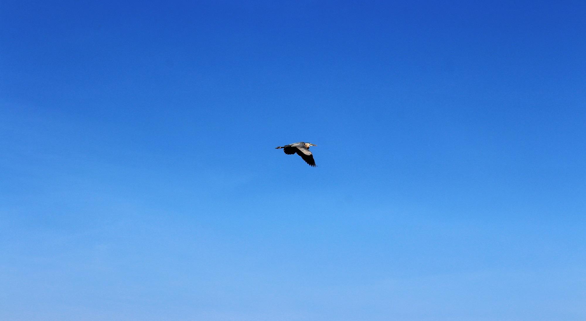Blue Heron web.jpg