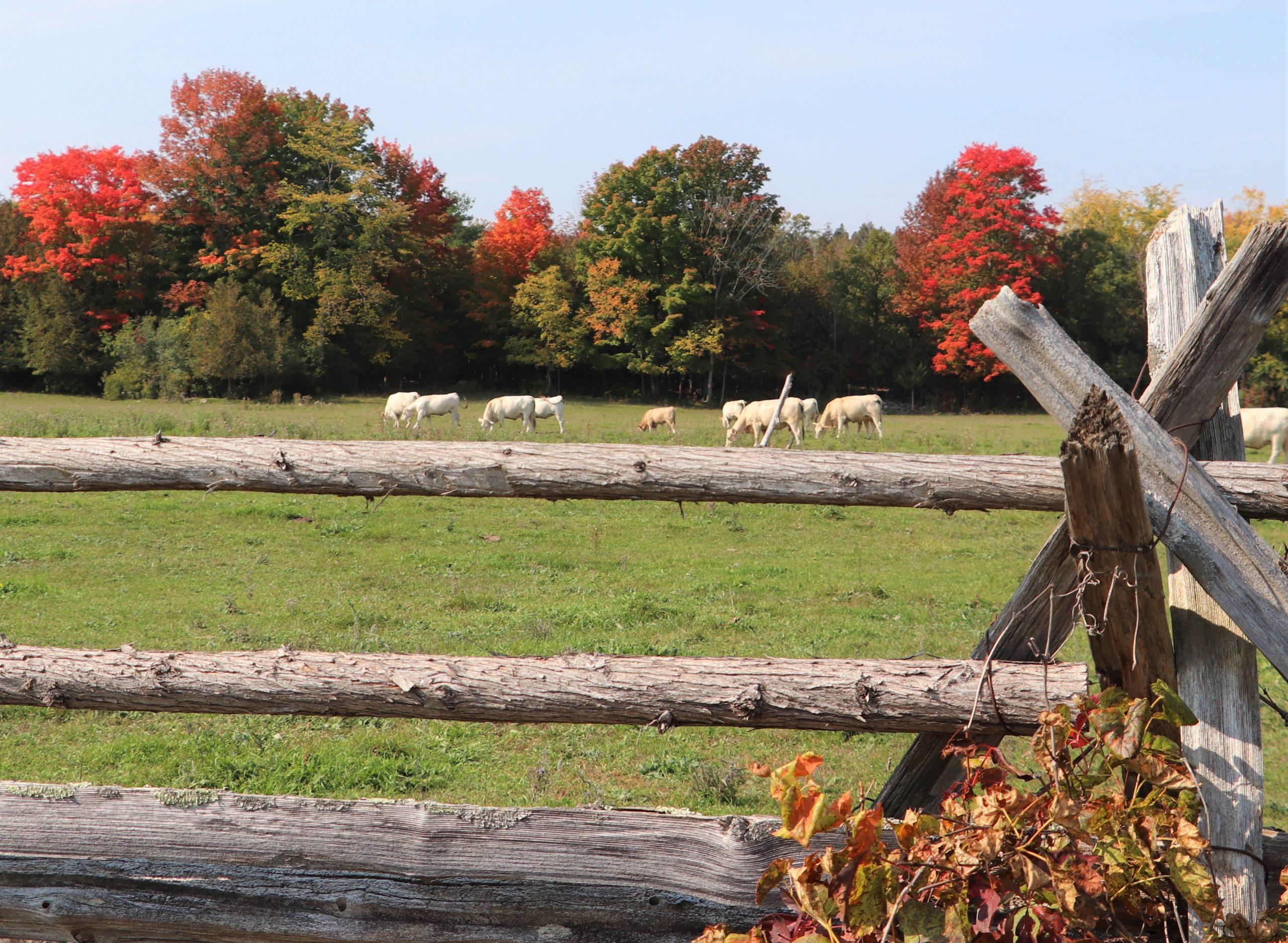 Cows in a Field.jpg